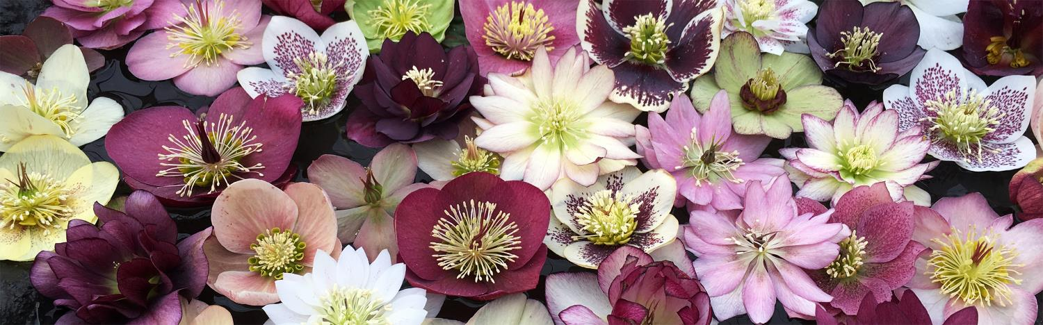 Phoenix Perennials Mail Order Canada S Most Exciting Selection